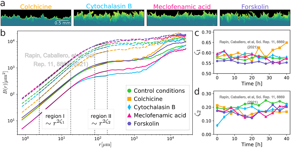 In a) is possible to observe already by eye how under different pharmacological modulators the cells behave differently. b) Continous lines show the roughness of the front when the experiments starts. Dashed lines show the roughness after one day: this increase shows that the fronts become rougher with time. c) and d) show how the power-law behavior of the two main regions (I and II shown in b)) evolve in time.