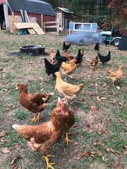 Grown chicks!