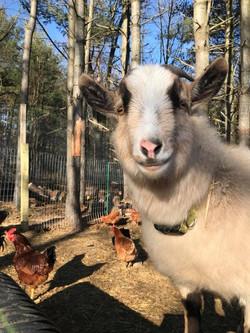 Jeffrey Goat