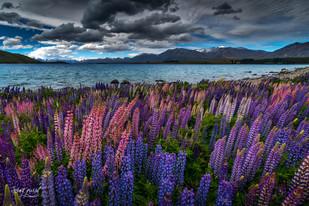 NZ lupins tekapo (1 sur 1).jpg
