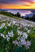 Les narcisses de la riviera, suisse