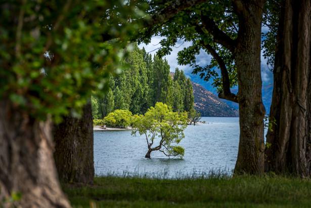NZ wanaka tree
