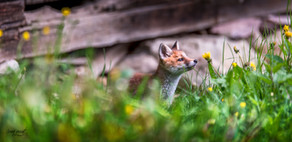 foxy smelling