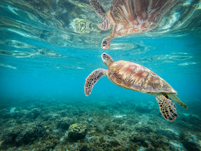 tortue à Moalboal