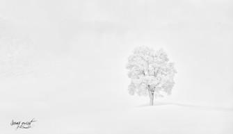 l'arbre solitaire de Leysin