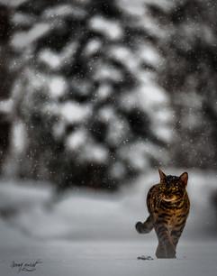 leo le Bengal sous la neige