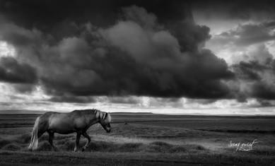 icelandic horse (1 sur 1).jpg