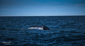 iceland whale