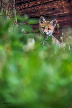 foxy watching