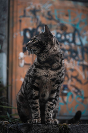 leo street cat