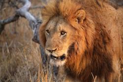 Male Lion in Sunshine