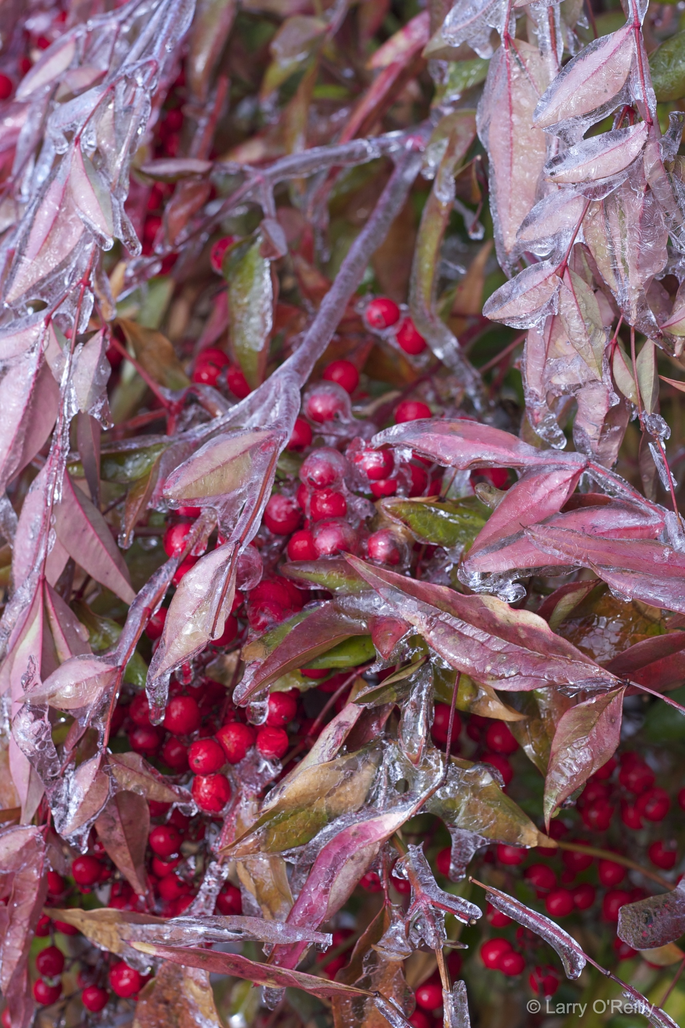 Winter Berries with Ice, 2013