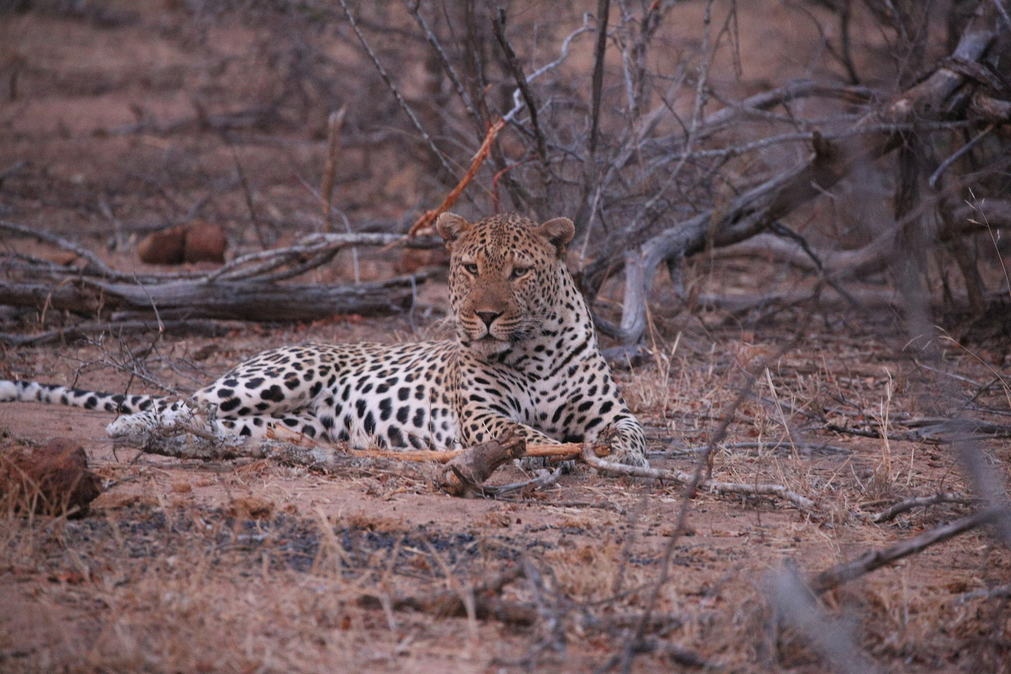 Leopard In Wait