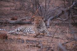 Leopard In Wait