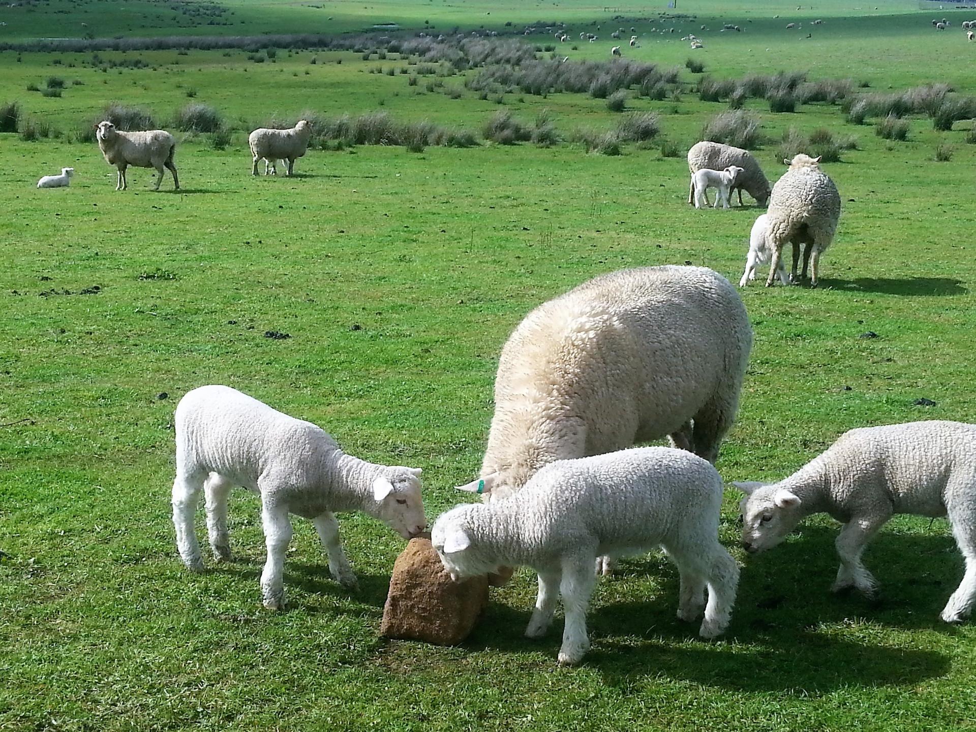 merino ewe & lambs.jpg