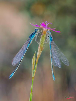 Dragonflies-turq w fuschia flower