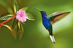 Hummingbird in flight with flower