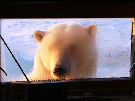 Nærkontakt med kongen av Arktis  | Hopen, Barentshavet
