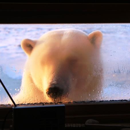Nærkontakt med kongen av Arktis    Hopen, Barentshavet