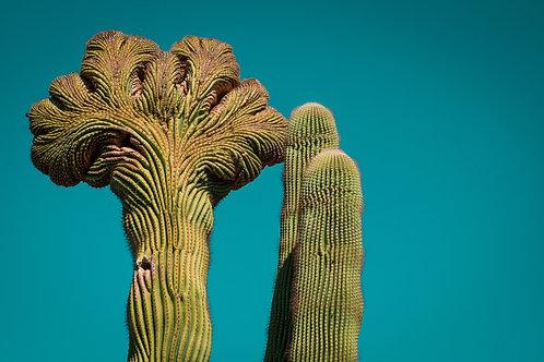 Rare Fan Cactus