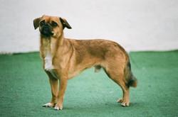 Small Brown Dog