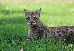FEMALES   Jungletrax Bengal Cats