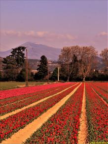Champs de tulipe à Violès (Vaucluse)