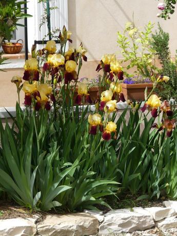Iris multicolores au printemps