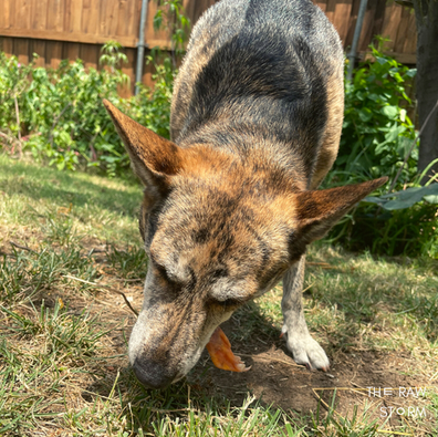 How To Teach Your Dog To Chew Raw Meaty Bones (RMBs)