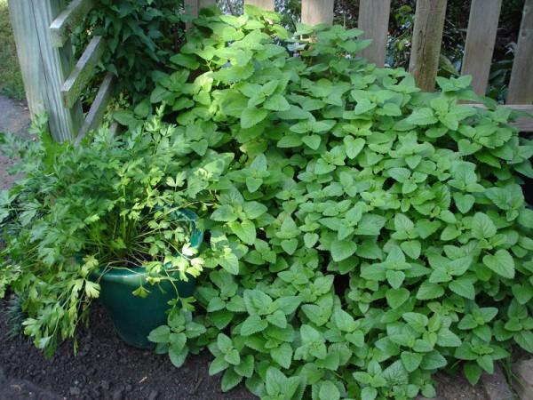 mint-in-garden-e1322879314497