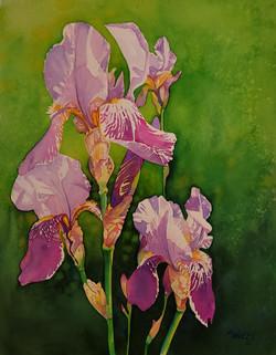 "Denni's Irises  24 x 30"" Framed 575."
