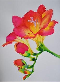 "Freesia Study III -  22"" x 30"" - Watercolor - 1200. framed"