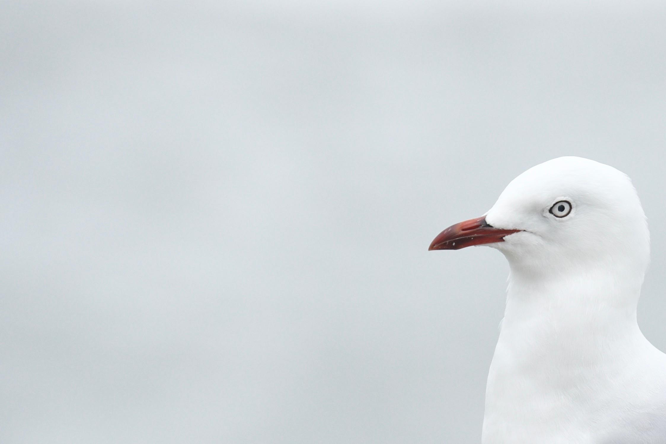 Red-Billed Gull (Mackerel)