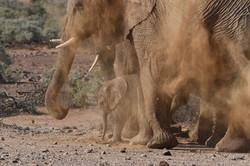 Desert Adapted Elefants