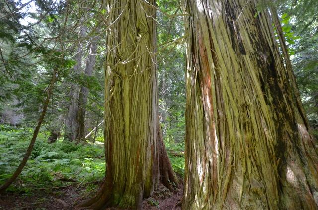 Retallack Cedar Grove