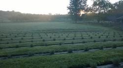 Orchard View Lavender Farm