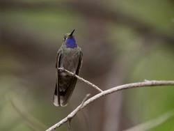 Blue throated mountain gem hummingbird i