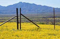 Southern Arizona desert full of yellow w