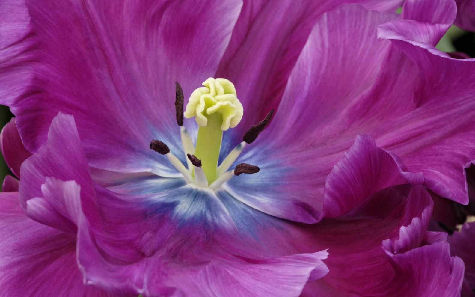 close_up_of_a_purple_tulip-wide.jpg