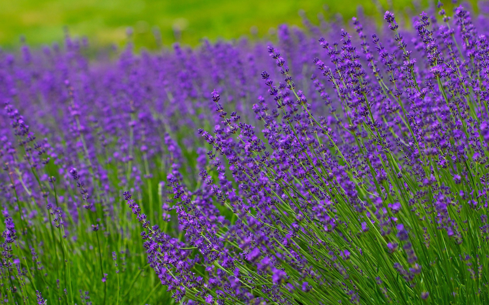 lavender and grass.jpg