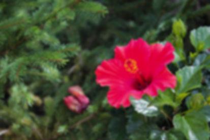fushcia hibiscus.jpg
