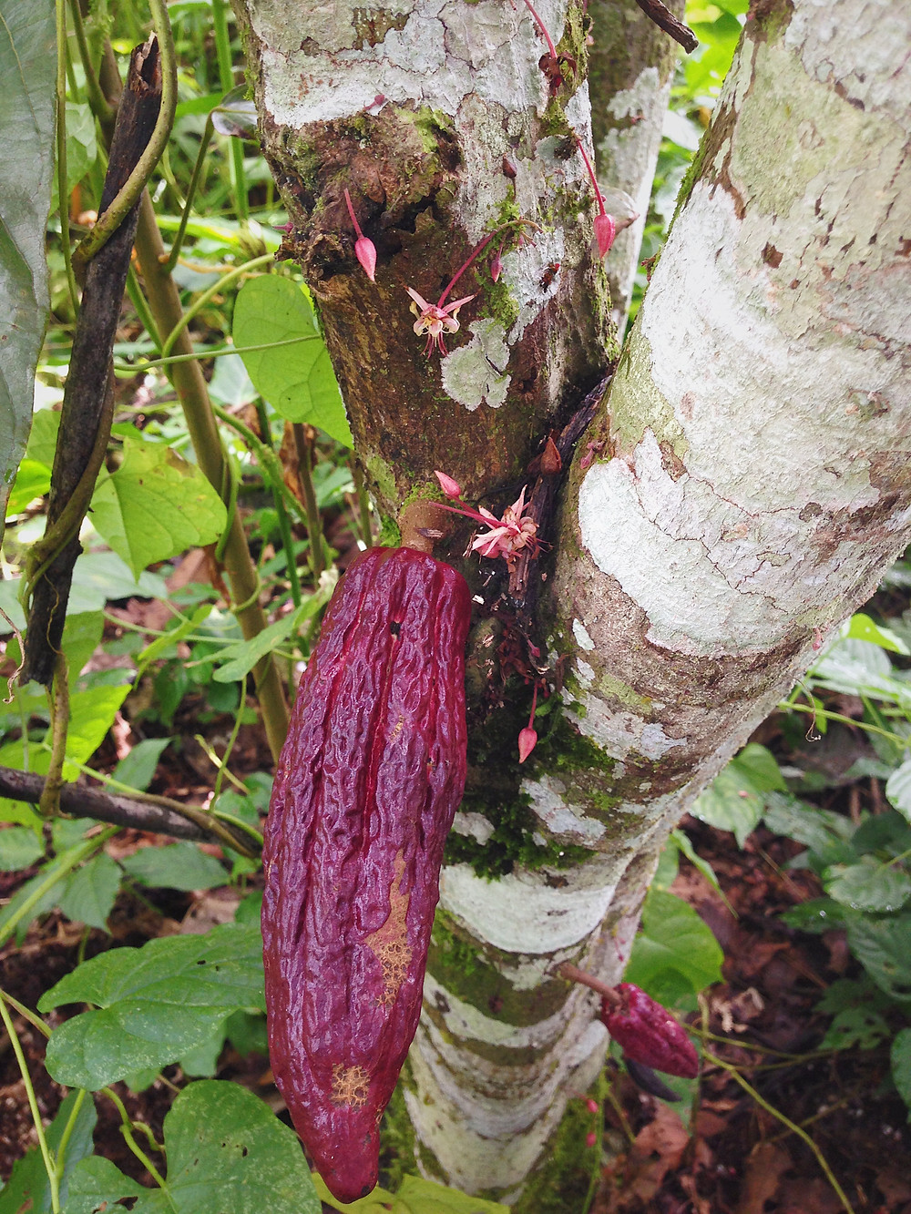 Cacao pod and flowers