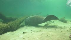 Manatee Swim