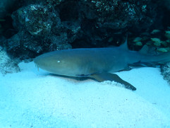 Nurse Shark WPB