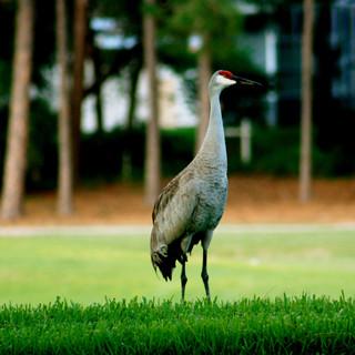 The Sandhill Crane