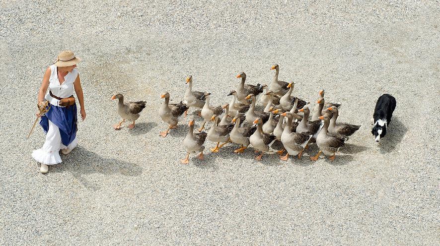 herding geese-908291.jpg