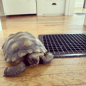 Acupuncture for Tortoises