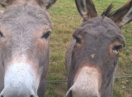 Wandel eens met een ezel in de Westhoek