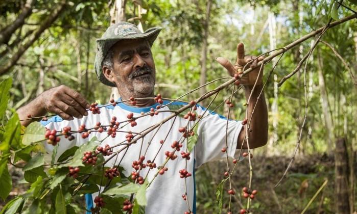 """O agricultor Adeílson Ataliba mostra um cafeeiro do seu terreno em Silva Jardim: """"A terra era seca e o solo, rachado, quase pedra. Depois que comecei a agrofloresta, mudou tudo. Você cava com o pé, de tão macio"""" - Hermes de Paula RIO"""