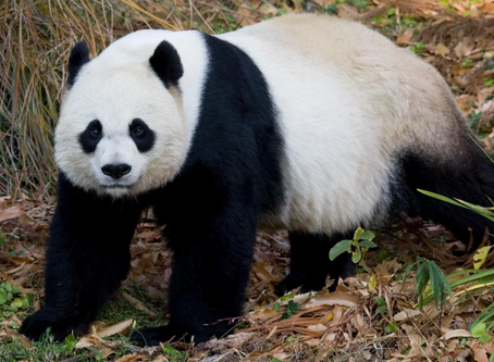 What Does the Giant Panda Cam, Agri-tourism, and Revitalization Have to do with the Government Shutd